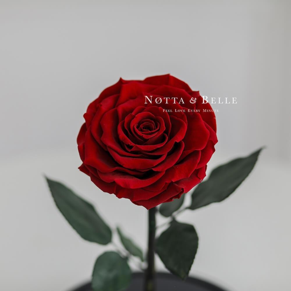 Rosa roja Iluminada en campana de cristal Premium