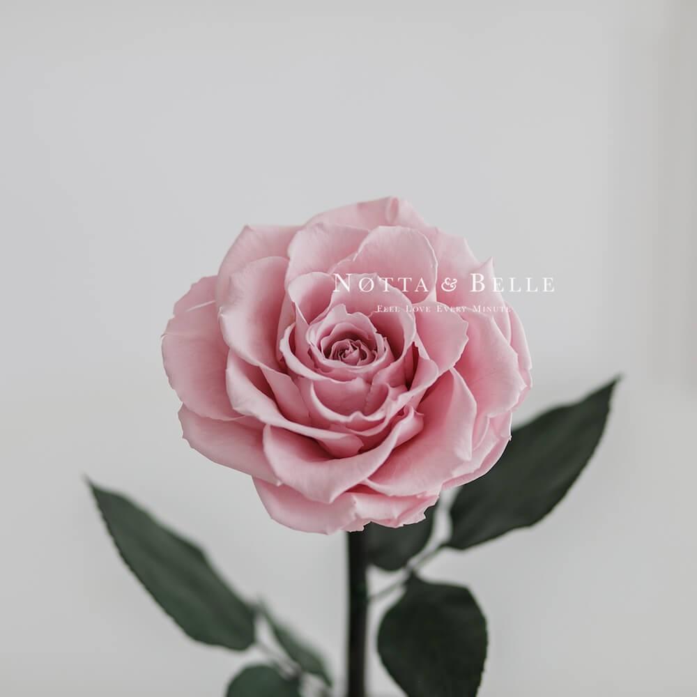 Premium jemně růžová Růže ve skle