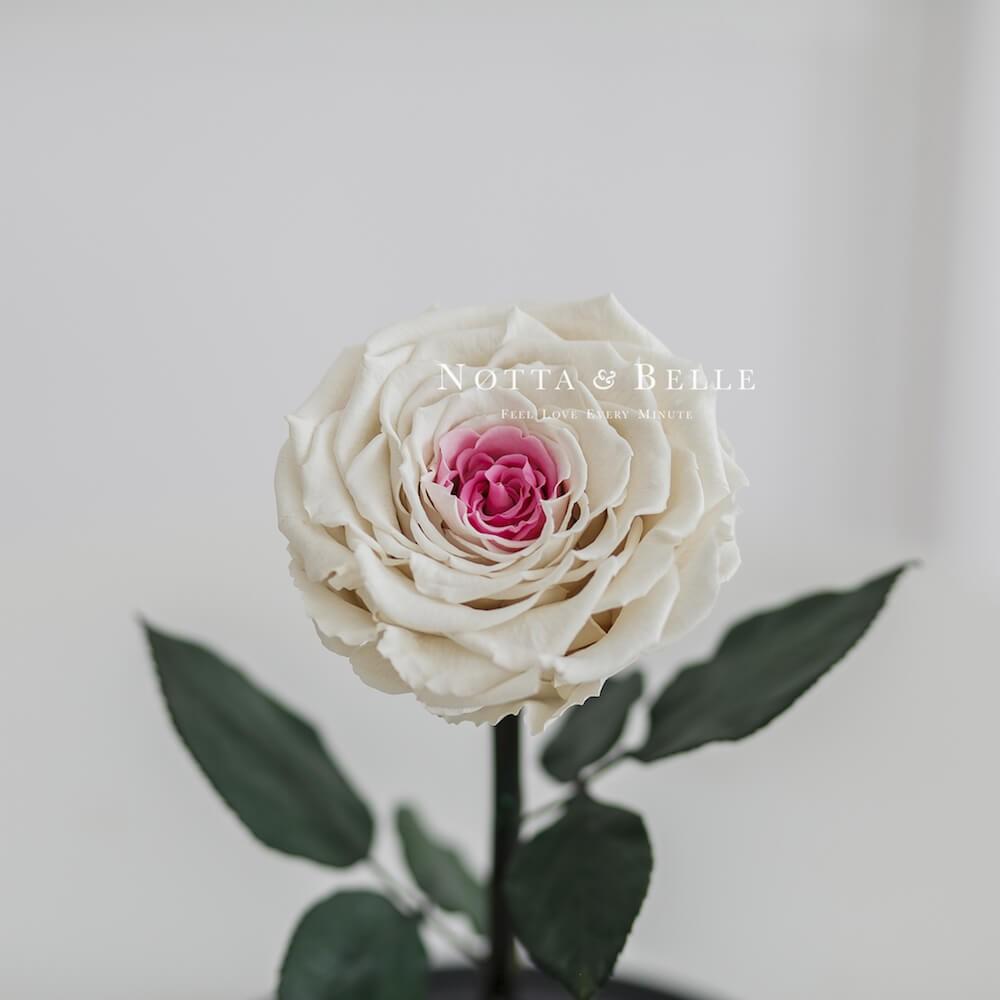 Бело-розовая роза в колбе - King