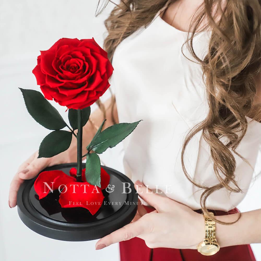 Premium rote Rose