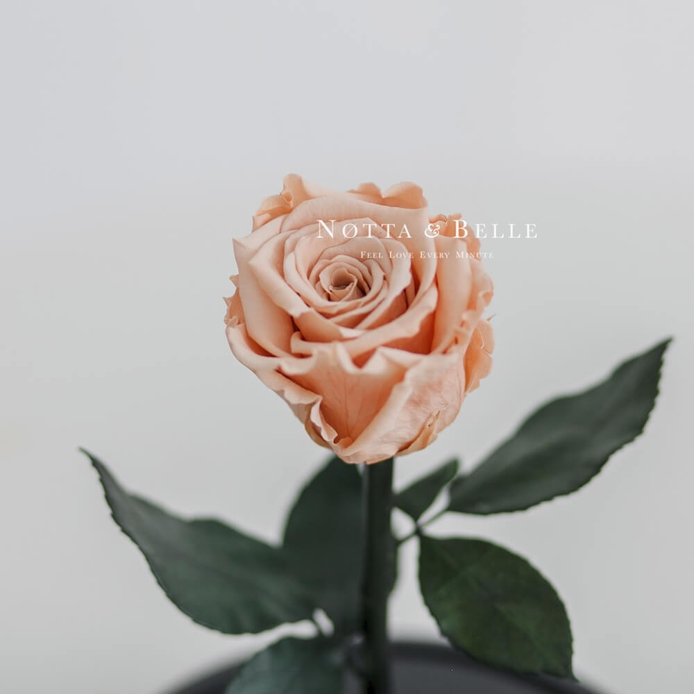 forever peach rose in glass dome - mini
