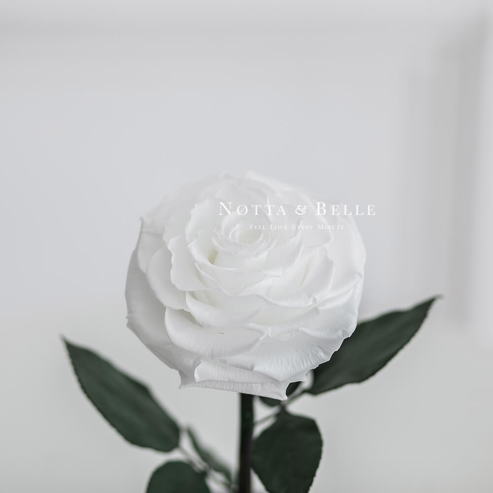 forever white rose in glass dome - premium x